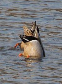 Dabbling Ducks - for Laurajane