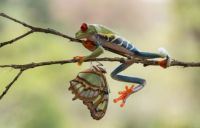 A day in the life of a Red Eyed Tree Frog - Branching out to the neighbours...