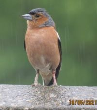 Male Chaffinch not liking the rain.