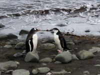gentoo and chin strap penguins (large)