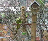 "Soaking wet ""..Keet"" on the feeder!"