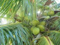 Noix de coco... hummmmmmmmmmmmm