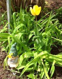 Survivor 2 - Gnome holding up mini daffodil