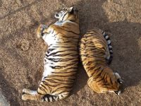 A couple of Colorado Wild Sanctuary's tigers