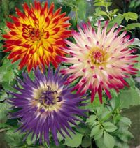 Those Beautiful Dahlias!