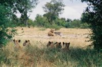 Kruger - First Sighting of Lions