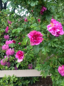Sweet smelling wild roses and rhoddies