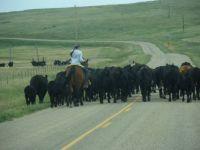 Cattle on Johnson Mesa