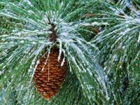Snow on the Ponderosa Pine