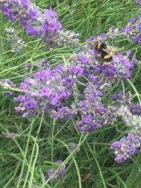 Bee on my Lavender