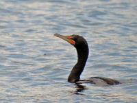 cormorant on Teal Lake, Negaunee, MI