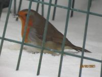 Robin eating safely in the feeder cage.