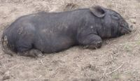 Let sleeping pigs lie !!