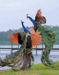 peacocks Dueling of beauty birds.