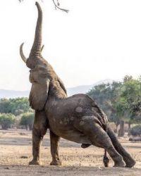 elephant stretching