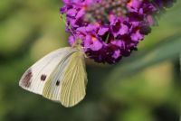 small Cabbage white - Pieris Rapae