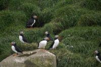 Bird island - Puffins