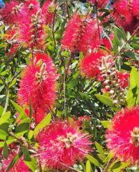 Bottle Brush Bush in Full Bloom