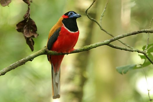 Red-napped trogon