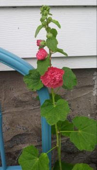 My garden... Double Hollyhock