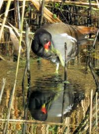 scratching moorhen reflected