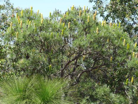 Banksia in Wireless Hill Western Australia