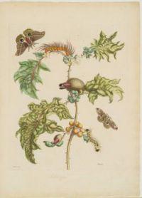 Maria Sibylla Merian, Receuil des Plantes des Indes