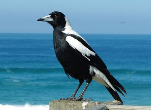 White-backed Magpie - South Australia's state bird...