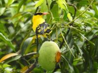 Yellow Mynah and its mango diet