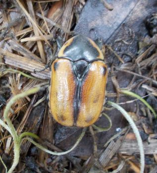 cowboy beetle