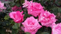 Roses -again!