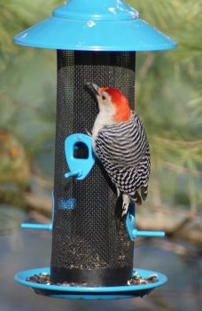 Another Red-bellied Woodpecker.
