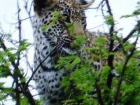 Leopard cub