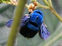 Xylocopa caerulea or blue carpenter bee