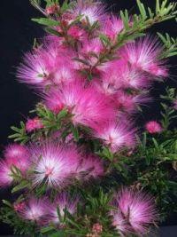 Calliandra brevipes 'Pink Lilian' – Brazilian Pink Powder Puff