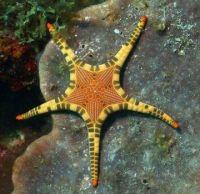 Iconaster longimanus starfish