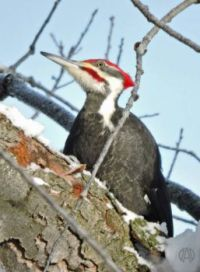 More Birds: Pileated Woodpecker, male