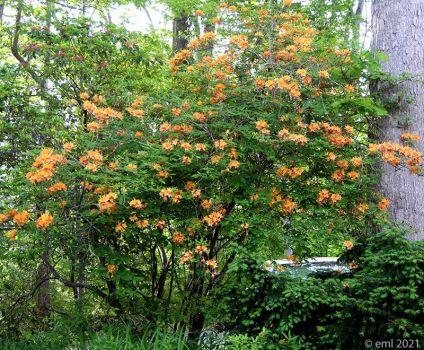 Orange Azalea1