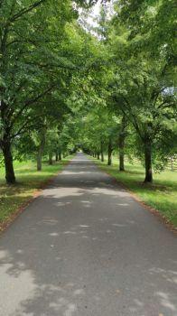 Lipová alej... Linden trees...