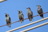 European Starlings, Lagoon Trail, Del Mar, California