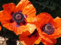 Red Poppies in Sun