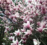 April magnolia