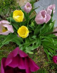 Tulips above