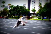 Seagull flying at Tropicana Field
