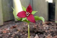 A Rare Red Trillium