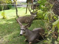 Deer in our summer house yard, B.C. Canada