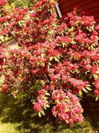 mountain laurel - CT, USA state flower