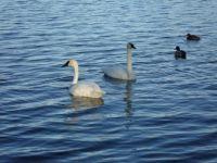 Tundra Swans - Vadnais Lake, MN