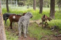 Wolfhounds Walk with Goats