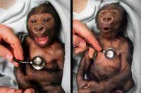 Baby Gorilla & Cold Stethoscope